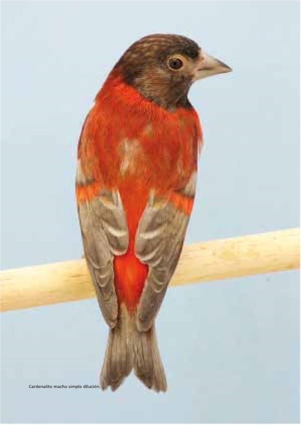 cardenalito 11