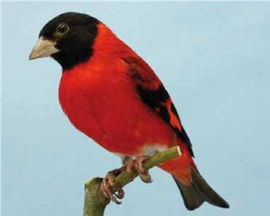cardenalito 3