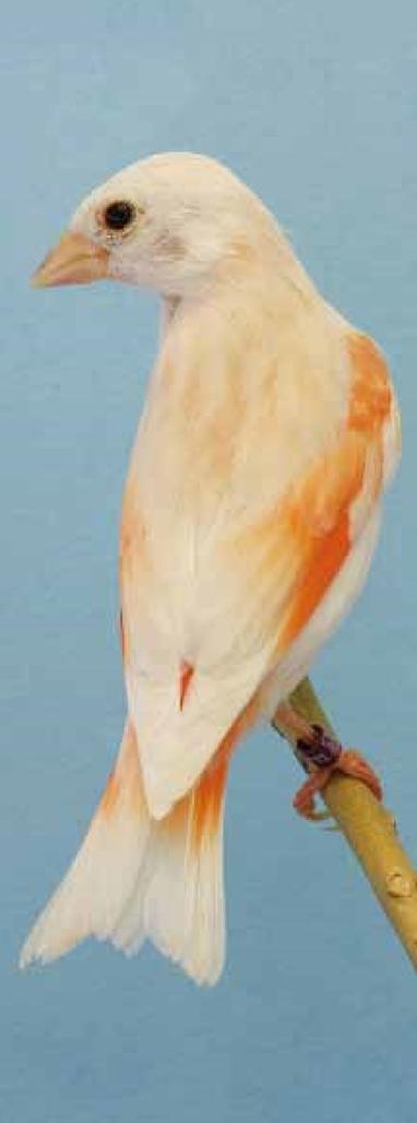 cardenalito 6
