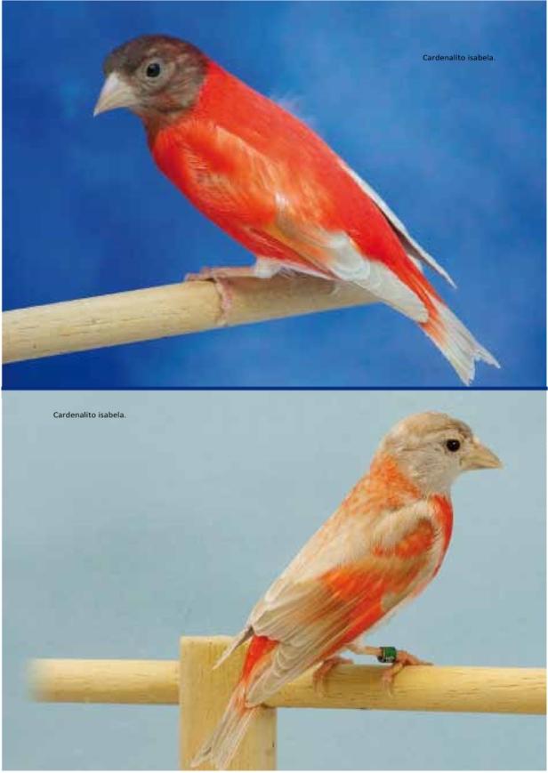 cardenalito 7