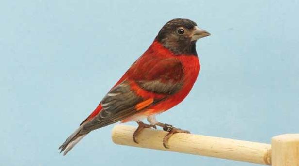 cardenalito 8
