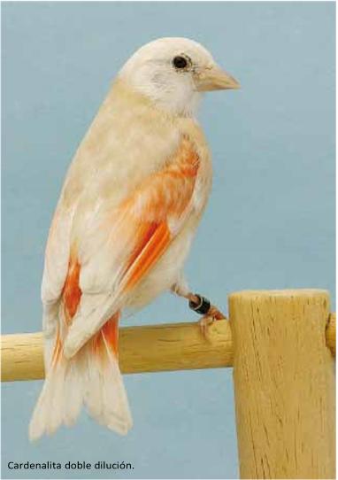 cardenalito 9